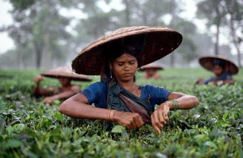 Steve McCurry, Tea Estate, Bangladesh